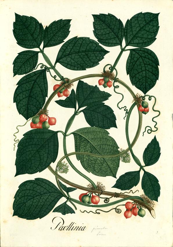 """Immagini tratte dalla raccolta digitale della """"Real Expedición Botánica del Nuovo Regno di Granada"""""""